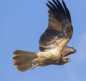 Whistling kite, Haliastur sphenurus, in flight