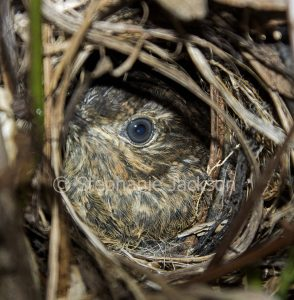 White-browed scrubwren, Sericornis frontalis, chick in nest