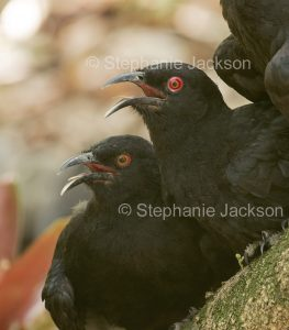 Australian bird, White-winged choughs, Corcorax melanorhamphos