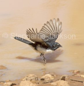 Willy / willie wagtail, Rhipidura leucophrys, in flight over water in outback Australia