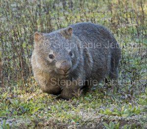 Australian wombat, Vombatus ursinus, in the wild in NSW Australia