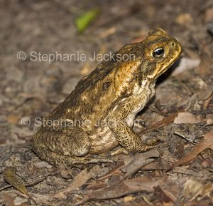 Australian frogs and tooads, cane toad, Bufo marinus