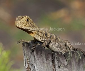 Young eastern water dragon, Intellagama lesueurii, Australian lizard