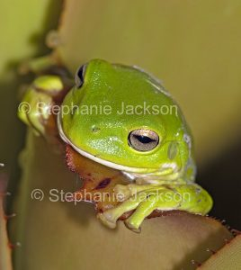 Australian giant green tree frog, Litoria caerulea, in a bromeliad