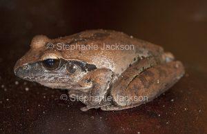 Australian broad palmed frog, Litoria latopalmata