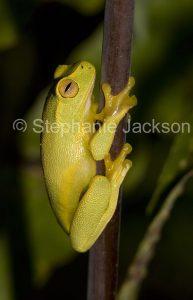 Australian dainty green tree frog, Litoria gracilenta,