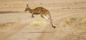 Australian animals, macropods, red kangaroo, Macropus / Osphranter rufus, in outback Australia