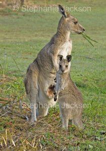 Australian animals, eastern grey kangaroo, Macropus giganteus, with joey, in the wild in Australia