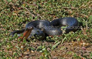 Australian venomous snakes, Red-bellied black snake, Pseudechis porphyriacus