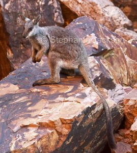 Australian rare and endangered animals, black footed rock wallaby, Petrogale lateralis, in the wild