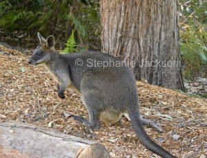 Australian animals, macropods, female swamp wallaby, Wallabia bicolor, in the wild
