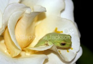 Australian dainty green tree frog, Litoria gracilenta, among flower petals of a rose