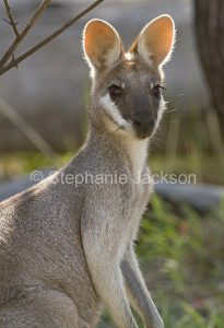 Australian whiptail / pretty face wallaby, Macropus parryi, in the wild