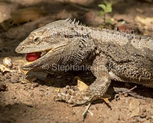 Australian bearded dragon lizard, Pogona barbata, in the wild, eating fruit