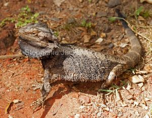 Australian bearded dragon lizard, Pogona barbata, in the wild