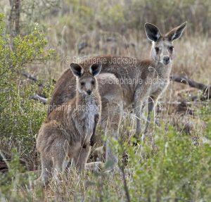 Australian animals, eastern grey kangaroo and joey, Macropus giganteus, in the wild