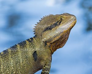 Close-up of face of eastern water dragon, Intellagama lesueurii, Australian lizard