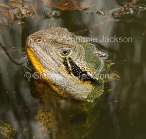 Close-up of face of eastern water dragon, Intellagama lesueurii, Australian lizard, peering from water
