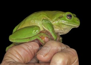 Australian giant green tree frog, Litoria caerulea, on a man's hand