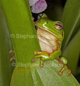 Australian green tree frog, Litoria caerulea,