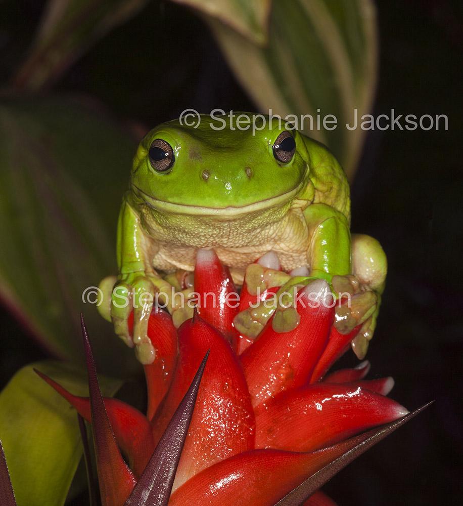 Photo of Australian giant green tree frog, Litoria caerulea, on vivid red flower of a bromeliad