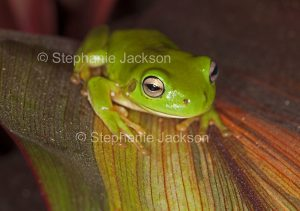Australian green tree frog on colourful leaf of cordyline