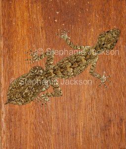 Moritz's leaf-tailed gecko, Saltuarius moritzi, Australian lizard