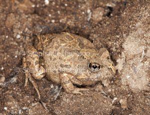Australian ornate burrowing frog, Platyplectrum ornatum syn. Opistodon ornatum