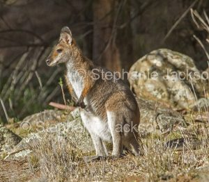 Australian animals, macropods, red necked wallaby, Macropus rufogriseus, in the wild