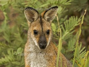 Australian animals, macropods, face of red necked wallaby, Macropus rufogriseus, in the wild