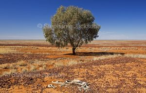 Solitary mulga tree and skeleton of kangaroo on Australian outback plains