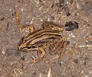 Australian striped marsh frog, Limnodynastes peronii