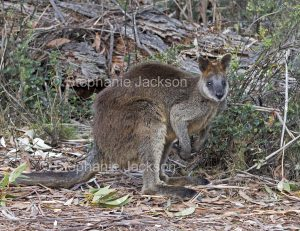 Australian animals, macropods, swamp wallaby, Wallabia bicolor with joey peering out of pouch, in the wild