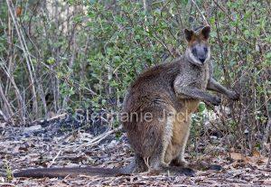 Australian animals, macropods, swamp wallaby, Wallabia bicolor, in the wild