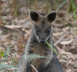Australian animals, macropods, face of swamp wallaby, Wallabia bicolor , in the wild