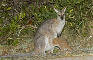 Australian red-necked wallaby, Macropus rufogriseus, with joey, in the wild