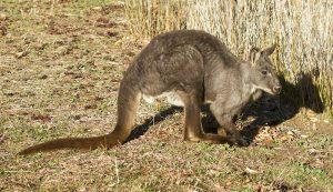 Australian animals, wallaroo / euro, Macropus robustus in the wild in Australia