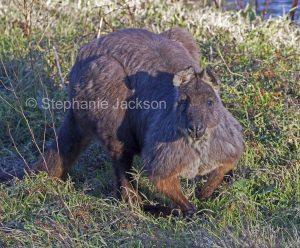 Australian animals, male wallaroo, Macropus robustus, in the wild in Australia