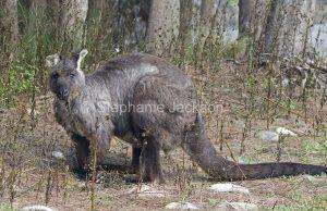 Australian animals, male wallaroo, Macropus robustus, in the wild, in Australia