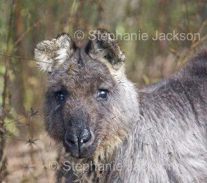 Australian animals, face of wallaroo, Macropus robustus in the wild in Australia