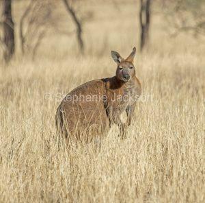 Australian animals, wallaroo / euro, Macropus robustus, in the wild in outback Australia