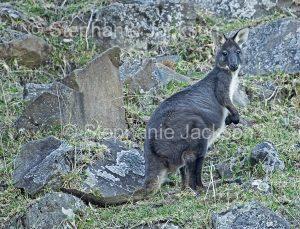 Australian animals, unusual black and white wallaroo, Macropus robustus, in the wild in Australia
