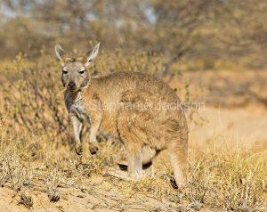 Australian animals, wallaroo / euro, Macropus robustus in the wild in outback Australia