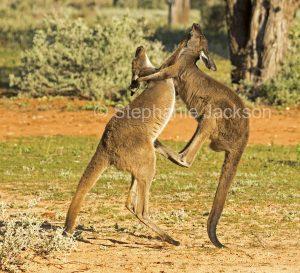 Australian animals, western grey kangaroos, Macropus fuliginosus, boxing in outback NSW Australia
