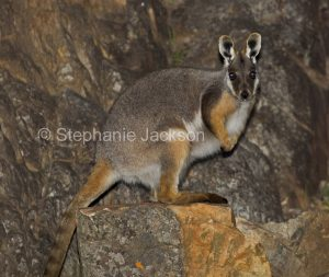 Australian macropods / wallabies, yellow-footed rock wallaby, Petrogale xanthopus, a vulnerable species