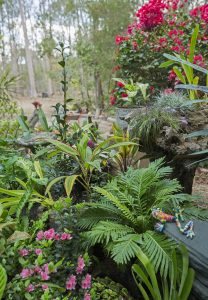 The plants in the fernery include ferns, azaleas and cordylines with colourful foliage. The tall plant in the background in a bougainvillea that flowers almost throughout the year.