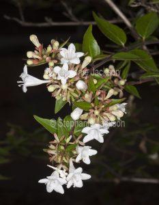 Flowers of semi-deciduous shrub, Abelia x grandiflora.