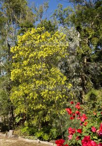Acacia fimbriata, Brisbane wattle, in full bloom in garden in Queensland Australia.