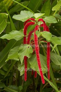 Foliage and red flowers of Acalypha hispida, Red Hot Cat's Tail / Chenille Plant.