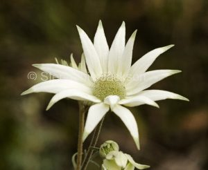 Flannel flower, Actinotus helianti in Myall Lakes National Park, NSW Australia.
